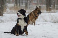 Bernese和白种人牧羊犬在冬天公园跑 免版税库存图片