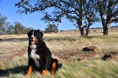 bernese βουνό σκυλιών Καλιφόρνι Στοκ εικόνες με δικαίωμα ελεύθερης χρήσης