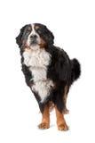 bernese βουνό σκυλιών Στοκ Εικόνες