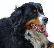bernese βουνό σκυλιών Στοκ Εικόνα