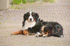 bernese βουνό σκυλιών sennenhund Στοκ Φωτογραφία