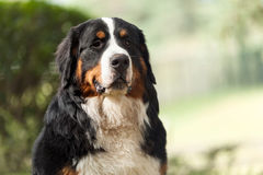 bernese βουνό σκυλιών Στοκ εικόνα με δικαίωμα ελεύθερης χρήσης