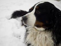 bernese βουνό σκυλιών Στοκ Φωτογραφίες
