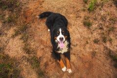 Σκυλί βουνών Bernese στο θερινό λιβάδι στοκ εικόνες με δικαίωμα ελεύθερης χρήσης