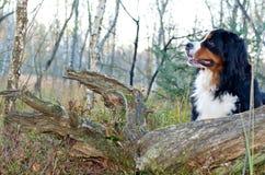bernese σκυλί βοοειδών Στοκ φωτογραφία με δικαίωμα ελεύθερης χρήσης