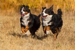 2 bernese бега собаки Стоковая Фотография