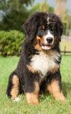 bernese гора собаки Стоковая Фотография
