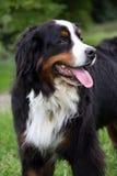 bernese гора собаки Стоковое фото RF