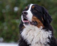 bernese портрет горы собаки стоковые фото