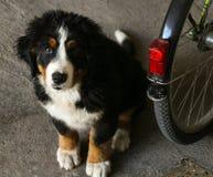 bernese щенок горы собаки Стоковое Фото