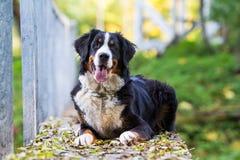 Bernese berghund Royaltyfria Foton