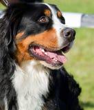 Bernese berghund Royaltyfri Fotografi