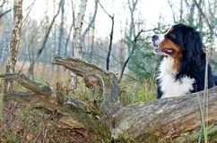 Bernese cattle dog Royalty Free Stock Photo