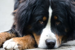Bernese dog Stock Images