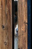 Bernese Dog behind Fence Royalty Free Stock Photography