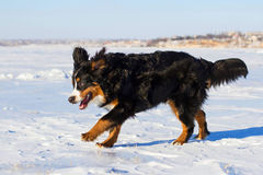Bernese dog run Stock Images