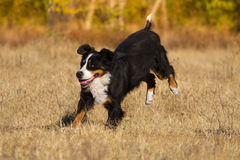Bernese dog run Royalty Free Stock Photos