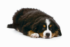 Bernese dog Royalty Free Stock Image