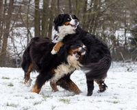 Bernese Dogs Playing Stock Photography