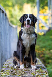 Bernese Góry Pies Fotografia Royalty Free