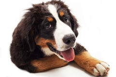 Bernese góry pies Obrazy Royalty Free