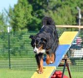 Bernese góry pies przy Psią zwinności próbą zdjęcie stock