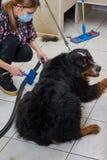 Bernese góry pies, przygotowywa zdjęcia royalty free