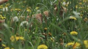 Bernese góry psa bieg zdjęcie wideo