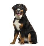 Bernese góry psa obsiadanie, 8 miesięcy starych, odosobniony obraz royalty free