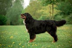 Bernese góry psa pobyt na trawie zieleni drzewa i kwiaty na tle fotografia royalty free