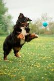 Bernese góry psa sztuka z piłką zieleń i kwiaty na tle fotografia royalty free