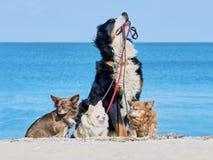 Bernese góry psa utrzymania w smycza trzy chihuahua Fotografia Stock