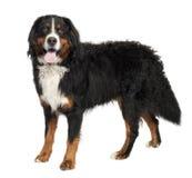Bernese Gebirgshund (10 Monate alte) Stockfoto