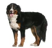 Bernese Gebirgshund, 12 Monate alte, stehend Stockbild