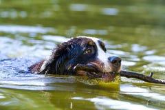 Bernese Gebirgshund Stockbild