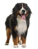 Bernese Gebirgshund, 3 Jahre alt, Stellung stockfotografie