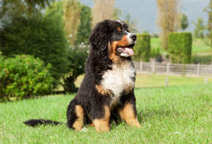 Bernese Gebirgshund Stockfotos
