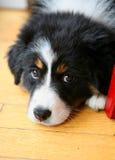 Bernese Gebirgshund Lizenzfreie Stockfotografie