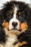 Bernese Gebirgshund Stockfotos