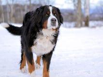 Bernese Gebirgshund stockbilder