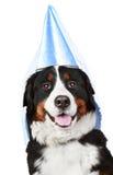 Bernese Gebirgshund im Partykegel Lizenzfreie Stockfotos