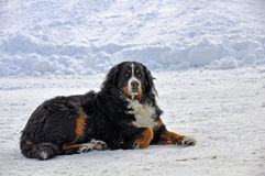 Bernese Gebirgshund im Schnee Stockfoto
