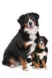 Bernese Gebirgshundeerwachsener und -welpe Lizenzfreie Stockfotos