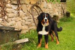 Bernese Gebirgshundewelpe Stockbild