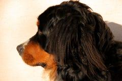 Bernese Gebirgshundewelpe Stockfotos