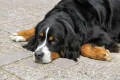 bernese hund Royaltyfria Foton