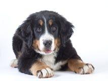 bernese hund isolerat berg arkivbilder