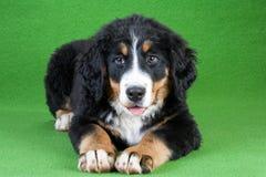 bernese hund isolerat berg royaltyfri foto