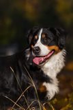 Bernese-Hund-portrat Lizenzfreies Stockbild