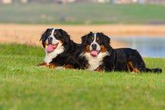 Bernese hund som två ligger på vårgräs Arkivfoto